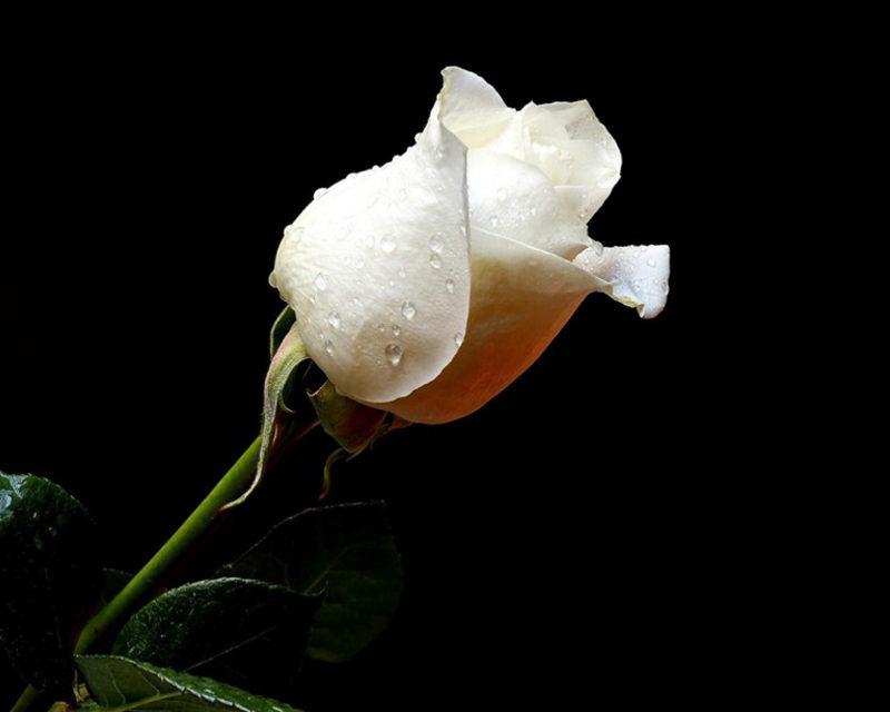 Kris Faatz – Night Roses