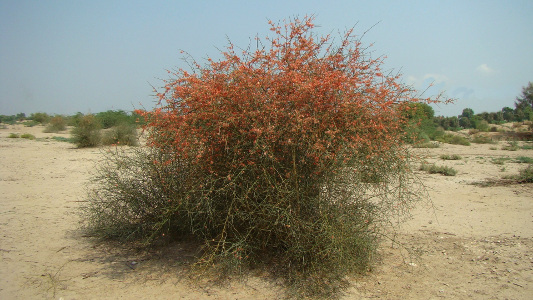 Karira shrub on the plains of Damaan.