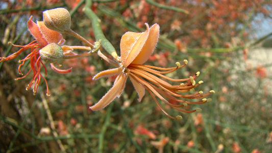 Karira flowers in plains of Damaan