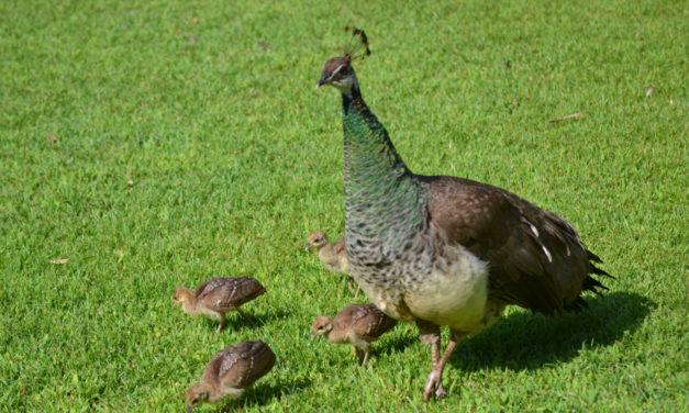 Alfred Corn –  Peahen