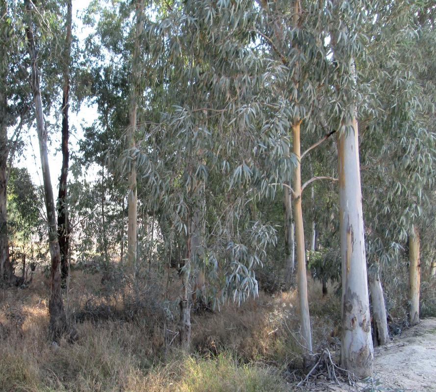 Eucalyptus Trees Beit SheAn - KJ Hannah Greenberg